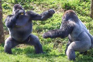 Kịch tính cảnh khỉ đột khổng lồ đấu quyền anh