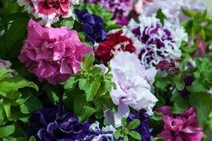 Làm chủ những sắc hoa Dạ Yến Thảo trước nhà thật đơn giản