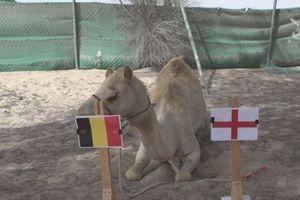 Lạc đà Shaheen dự đoán Anh sẽ gục ngã trước Bỉ