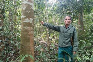 'Ông già gàn' giữ màu xanh của rừng lim đại ngàn