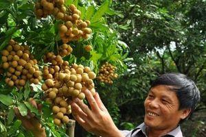 Thị trường Nông nghiệp ĐBSH: Mùa nhãn hứa hẹn thắng lớn, tăng 30%