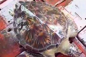 Hà Tĩnh: Thả rùa biển quý hiếm nặng 22kg về môi trường tự nhiên