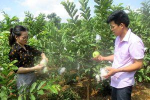 Thái Nguyên: Triển vọng từ trồng ổi lê Đài Loan