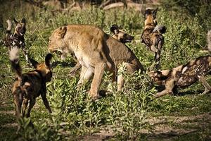 Bầy chó hoang dùng 'chiến thuật ruồi bu' tấn công sư tử