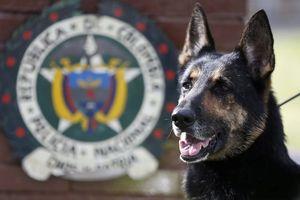 Băng nhóm ma túy treo thưởng 7.000 USD truy giết chó nghiệp vụ
