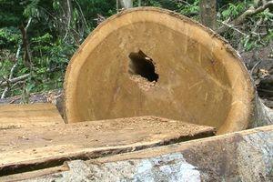 Khởi tố hình sự vụ án hủy hoại 23 cây gỗ giổi cổ thụ