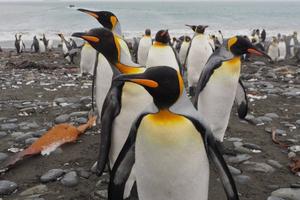 Đàn chim cánh cụt hoàng đế lớn nhất thế giới giảm 90% số lượng