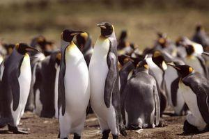 Đàn cánh cụt hoàng đế lớn nhất thế giới giảm 90% số lượng
