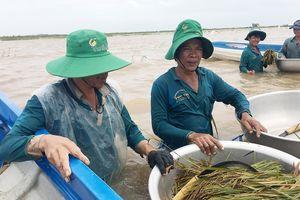 Nông dân ĐBSCL lo gặt lúa, thu hoạch hoa màu chạy lũ