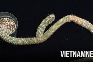Thực hư chuyện cây xương rồng được rao bán với giá gần 6 tỷ đồng