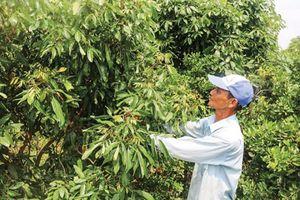Cần Thơ phát triển vùng chuyên canh cây ăn trái để xuất khẩu