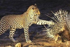 Thế giới động vật: Báo đốm bó tay với con mồi toàn gai trên người
