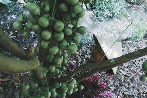 Cần Thơ: Vườn dâu xanh cho thu nhập cao ở cồn Sơn