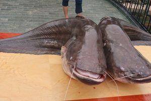 Đôi cá leo 'khủng' nặng hơn 1 tạ xuất hiện ở Bắc Ninh