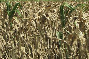 Nghệ An: Ngô héo khô phơi trắng đồng, nông dân thất thu nặng