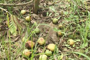 Xót xa nhìn hàng chục ha ổi nổi tiếng xứ Nghệ rụng và thối sau mưa