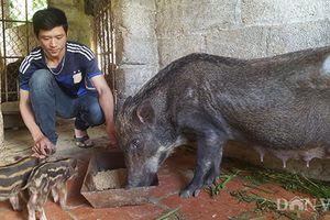 Nuôi loài lợn rừng ăn toàn cỏ, cây thuốc, 9x đút túi 15 triệu/tháng