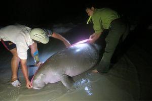 Một cá thể Bò biển bị chết dạt vào bờ biển Côn Đảo