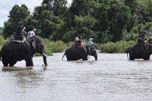 Đắk Lắk: Trút bỏ gánh nặng cho voi nhà