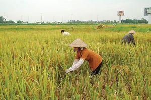 Tái triển khai bảo hiểm nông nghiệp: Chờ… nghiên cứu thêm