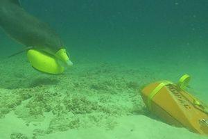 Hải quân Mỹ dùng cá heo để dò mìn trên biển
