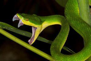 Làm gì để bảo toàn tính mạng khi bị rắn lục đuôi đỏ tấn công?