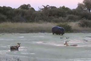 Clip: Linh dương Impala bị hà mã và chó hoang 'trên đe dưới búa'