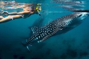 Lặn biển ngắm cá mập voi ở Oslob, Philippines