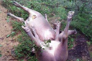 8 con trâu của dân nghèo bị sét đánh chết ở Hà Giang
