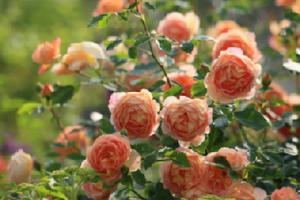 Kỹ thuật trồng hoa hồng ngoại Masora rose cho vườn nhà rực rỡ, ngắm mãi không chán