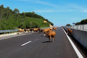 Đàn bò thả rông trên tuyến cao tốc Quảng Nam - Quảng Ngãi chậm tiến độ