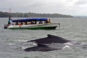 Colombia chính thức bước vào mùa ngắm cá voi lưng gù