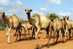 Cảnh sát Kenya biên chế lạc đà vào lực lượng trấn áp tội phạm