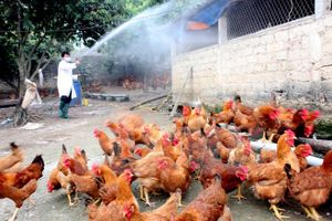 Vẫn còn 3 ổ dịch cúm A/H5N6 có nguy cơ lây lan cao