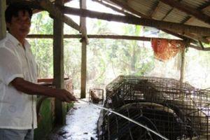 20 năm nuôi loài heo rừng nhốt lồng, năm nào cũng lãi