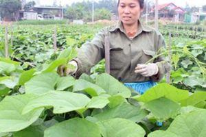 Bón phân Lâm Thao, cây su su nhiều ngọn, dễ bán