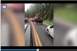 Cái kết của người đàn ông thách thức bò rừng khổng lồ ở Mỹ
