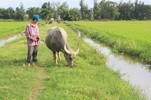Dân bức xúc vì chăn thả trâu bò ngoài đồng phải đóng phí