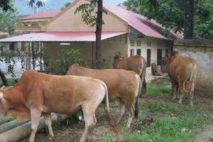Xây dựng Chỉ dẫn địa lý cho sản phẩm 'Bò Vàng' ở Hà Giang