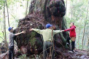 Công nhận nhiều cây di sản ở huyện Tây Giang