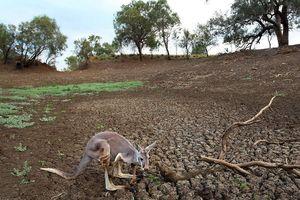 Úc cho phép nông dân bắn kangaroo hàng loạt