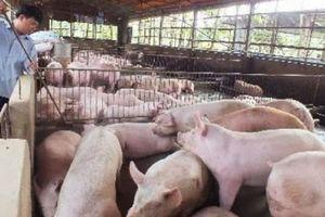 Cảnh báo: Giá lợn hơi tăng 200% so với cùng kỳ