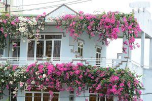 Ngôi nhà 3 tầng phủ kín hoa giấy khiến ai đi qua cũng phải mê mẩn