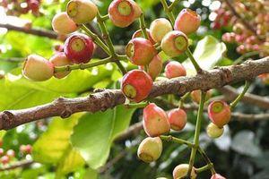 Sự thật ít biết về cây vối quen thuộc với người Việt