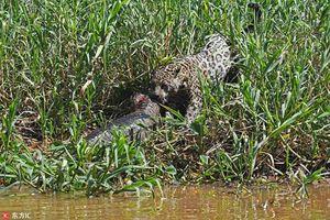 Màn săn giết cá sấu ngoạn mục của báo đốm châu Mỹ