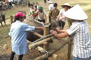 Phòng chống dịch bệnh cho gia súc, gia cầm sau mưa lũ