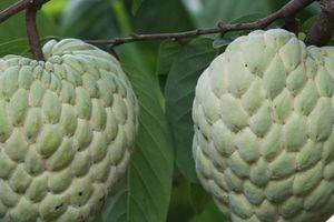 Giống na cho quả khổng lồ ở Lạng Sơn