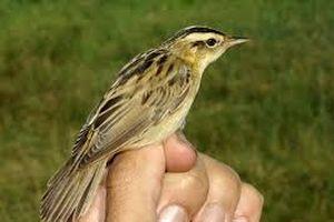 Dây thần kinh sinh ba giúp chim định hướng theo từ trường