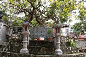 Độc đáo cây nhãn tổ Hưng Yên