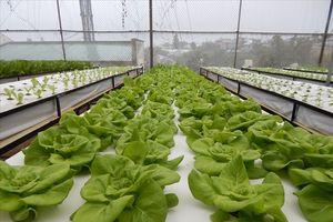 Đà Lạt : 'Trồng rau trong không khí' thu 3-4 tỷ mỗi năm
